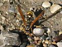 Wasp2 - Mischocyttarus flavitarsis - female