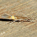 Cosmopterix delicatella
