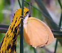 Tailed Orange - Pyrisitia proterpia