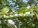 caterpillar - Citheronia regalis