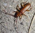 orange beetle - Smodicum cucujiforme