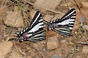 Zebra Swallowtails - Eurytides marcellus - male
