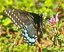 Black Swallowtail (Papilio polyxenes) - Papilio polyxenes - female