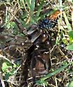 Wasp with Tarantula - Pepsis
