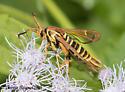 moth - Carmenta armasata