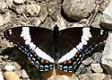 White Admiral - Limenitis arthemis - female
