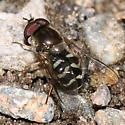 syrphid fly - Dasysyrphus creper - male