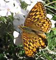 Fritillary - Speyeria hydaspe? - Speyeria - female