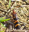 Red-Orange & Brown Insect - No ID - Panorpa nuptialis