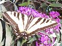 Swallowtail butterfly - Papilio rutulus