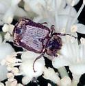 Small Flower Scarab - Valgus canaliculatus
