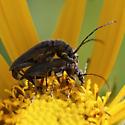 Cerambycidae mating - Cortodera - male - female