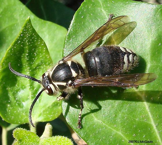 Bald-Faced Hornet--male or female? - Dolichovespula maculata - male