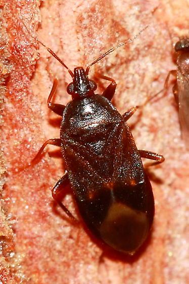 Bug - Lyctocoris stalii