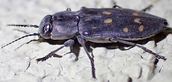 Melanophila consputa? - Melanophila consputa