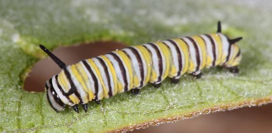 Monarch caterpillar, second instar - Danaus plexippus
