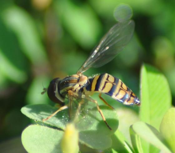 Syrphid Fly - Toxomerus politus