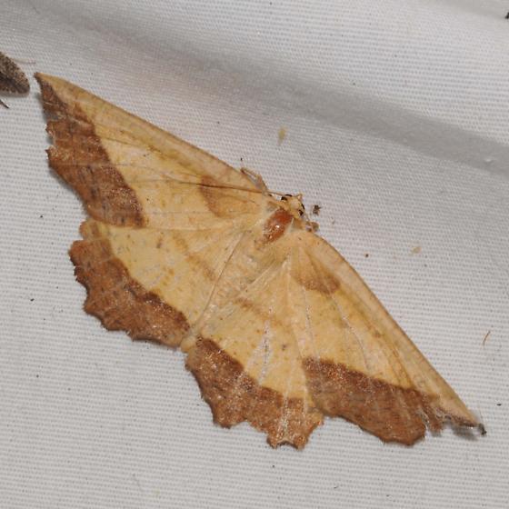 Euchlaena serrata - Saw-wing  - Euchlaena serrata