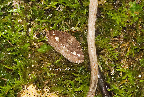 Unknown Moth - Homochlodes