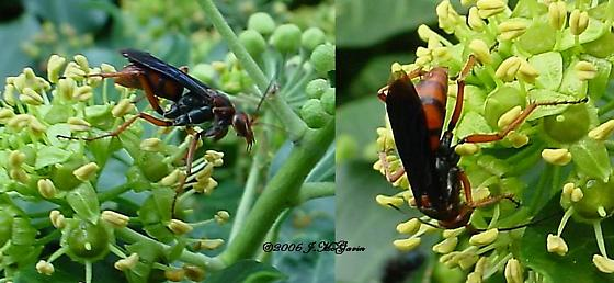 Red Wasp w blue wings - Tachypompilus ferrugineus