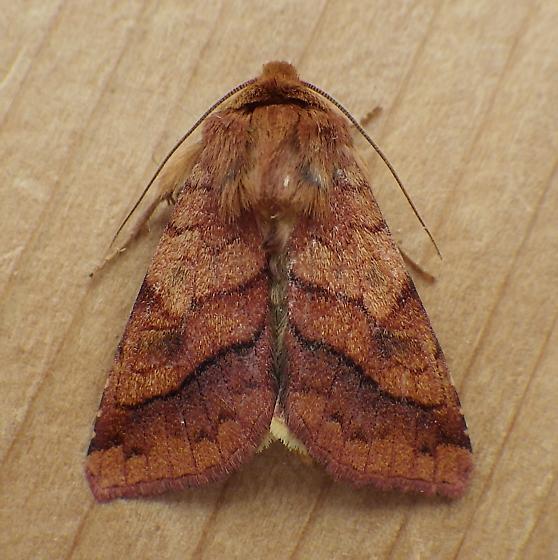 Noctuidae: Pyrrhia exprimens - Pyrrhia exprimens