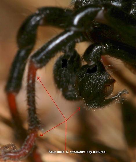 Sphodros atlanticus - male