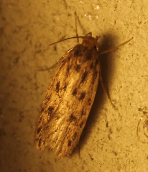Moth ID - Hofmannophila pseudospretella