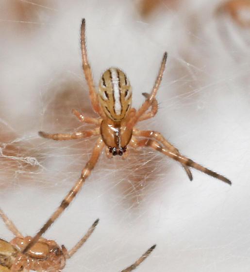 L. mactans? - sling - dorsal - Latrodectus hesperus - female