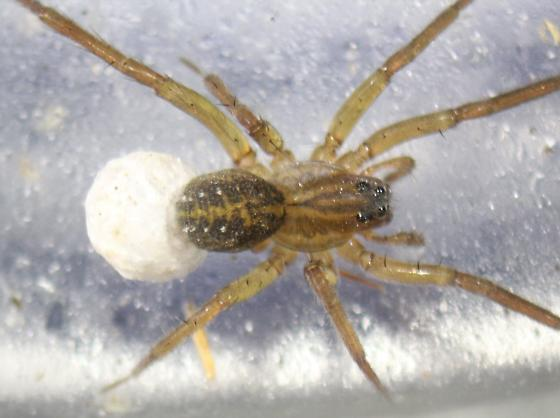 Piratula cantralli--voucher image - Piratula cantralli - female