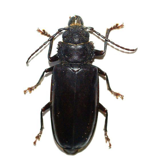 Nothopleurus madericus  - Nothopleurus madericus - female