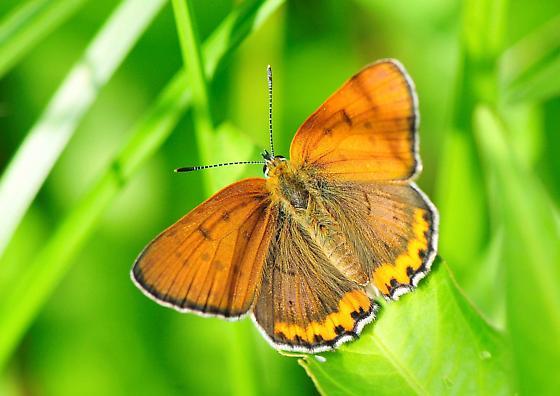 Lycaena hyllus - Bronze Copper - Hodges#4256 - Lycaena hyllus - male