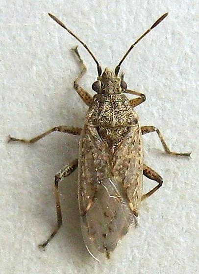 Plant Bug? - Xyonysius californicus