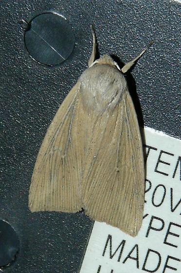 Phragmites Wainscot?  - Leucania linita