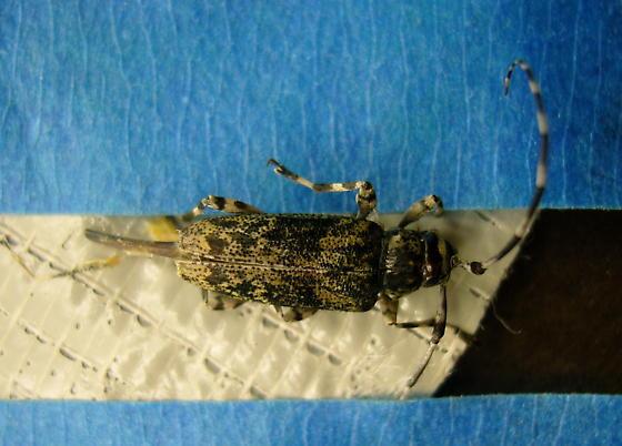 Longhorned Beetle - Graphisurus or Acanthocinus obsoletus - Graphisurus fasciatus