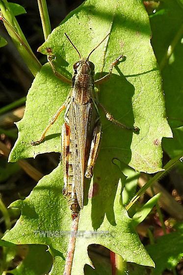 Bug008 - Melanoplus - female