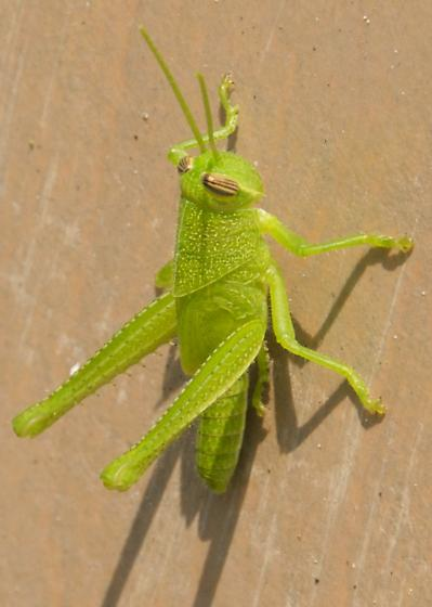Bright Green Grasshopper - Schistocerca