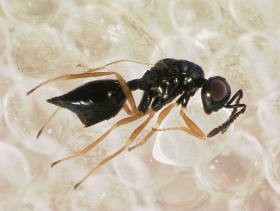 Pteromalidae - Asaphes