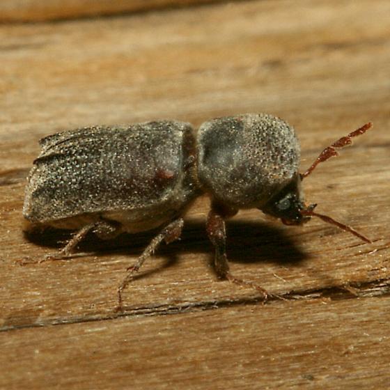 Beetle - Dendrobiella aspera