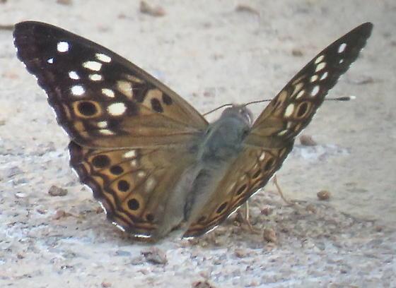 butterfly-2019-002 - Asterocampa celtis