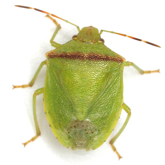 Thyanta custator (Fabricius) - Thyanta custator