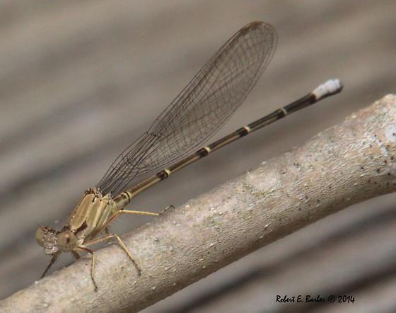Argia apicalis_Blue-fronted Damselfly_RBarber_260514   Male  IMG-3840 - Argia apicalis - male