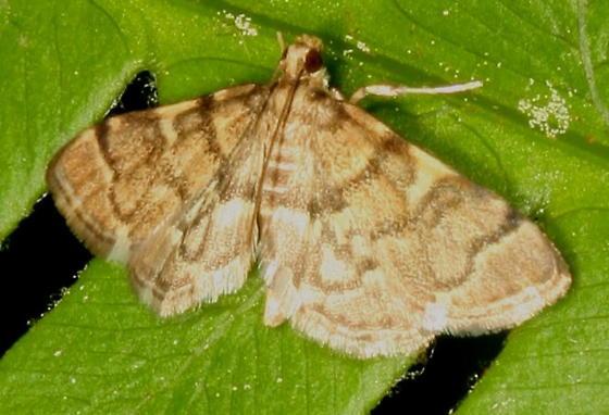 Moth help - Anageshna primordialis