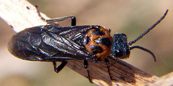 Early Sawfly - Dolerus unicolor