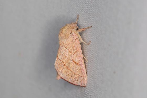 Hyparpax aurostriata
