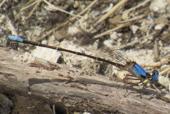 Damselfly - Argia apicalis - male