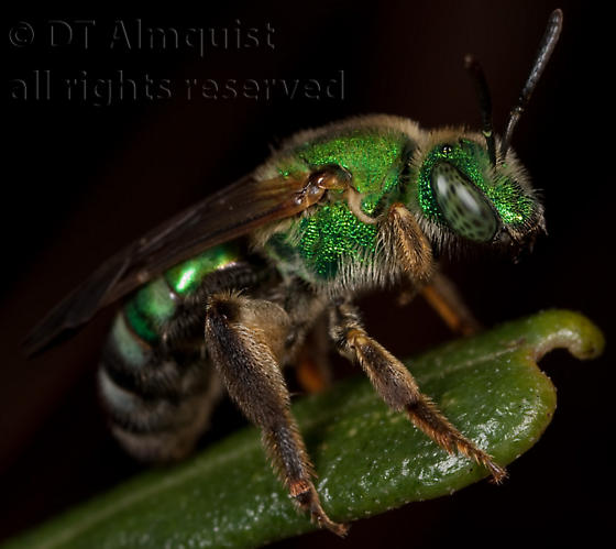 halictid - Agapostemon splendens - female