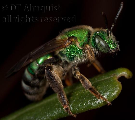 halictid - Agapostemon splendens - female