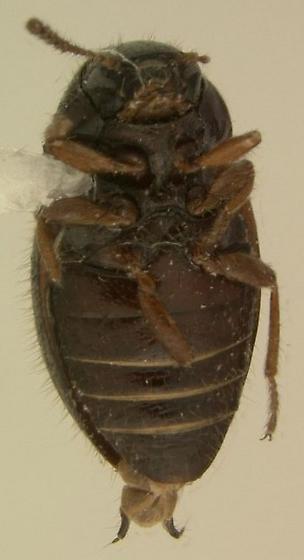 Lioligus nitidus - female