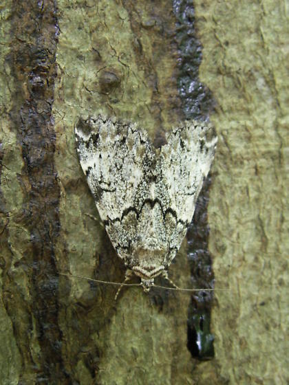 Moth on beech trunk in forest - Allotria elonympha