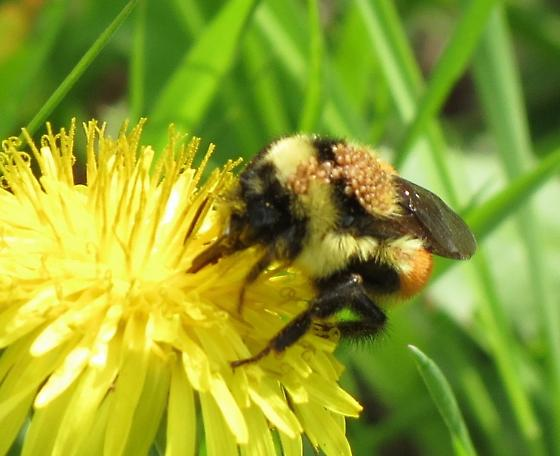 Hunts Bumble Bee with Mites see Remarks please - Bombus huntii
